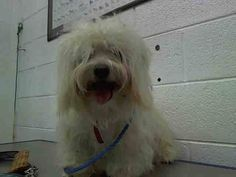 OSCAR (A1641392) I am a male white Maltese.  The shelter staff think I am about 2 years old.  I was found as a stray and I may be available for adoption on 09/11/2014.