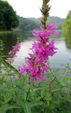 PURPLE LOOSTRIFE: (Lythrum salicaria). Photograph taken at Brady's Run County Park in Beaver County, PA, July 27, 2012.