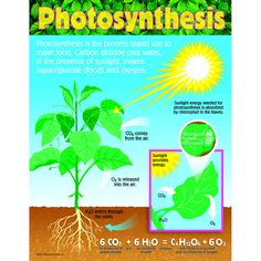 Take kids through the steps of photosynthesis. Back of chart features reproducible sheets activities and helpful teaching tips. 17 x 22 classroom size. 5th Grade Science, Middle School Science, Photosynthesis Activities, Stem Activities, Water Cycle, Parts Of A Plant, Science Classroom, Classroom Fun, Google Classroom