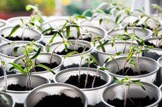 Не каждый огородник знает, насколько важен правильный полив рассады, при котором соблюдается режим и уделяется должное внимание свойствам воды, используемой для увлажнения грунта. Давайте разберемся, как получить здоровую и крепкую рассаду.