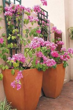 An idea to grow Bougainville in pots