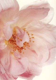 Semi-Double Hybrid Tea Rose - Irving Penn, 1971