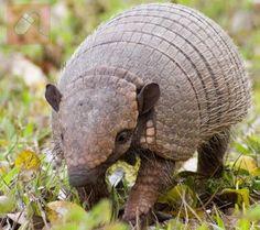 Animals Kingdom, Elfie S Animals, Brazil, Animals Armadillo, Animals Pictures…