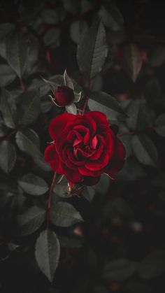 Wall paper red flowers beautiful roses ideas for 2019 Tumblr Wallpaper, Nature Wallpaper, Mobile Wallpaper, Wallpaper Backgrounds, Iphone Wallpapers, Wallpaper Plants, Landscape Wallpaper, Animal Wallpaper, Colorful Wallpaper