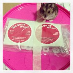 Oatmeal posing with unassembled wodent wheel Cute Hamsters, Dwarf Hamsters, Hachiko, Oatmeal, Poses, Wheels, Board, Products, The Oatmeal
