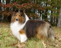 A new breeder, Goodtime Shelties, has joined the Breeders Domain site! Shetland Sheepdogs bred to win hearts and championships. AKC breeder of Shelties located north of Savannah, GA. Puppies occasionally available.