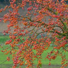 Crabapple Malus Evereste - Bare Root Tree