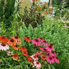 Butterfly garden with echinecia and sedum. Cottage style garden.