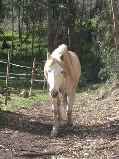 de meeste mensen die paarden natuurlijk houden hebben een looppad, een smal, lang stuk wei (zoals op foto) waar je paard kan bewegen. door er bv hooi en drinken langs te plaatsen (op verschillende plaatsen uiteraard) ook daar toe zal worden gestimuleerd.  zo zullen de paarden met minimum aan aanpassingen een al veel natuurlijkere levenswijze hebben, met alle bijbehorende voordelen vandien.