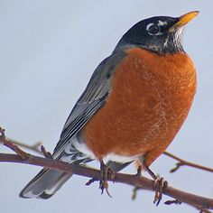 Gallery of all 50 state birds, including when and why each bird was adopted, what states share birds, and how to see each one. Bird Pictures, Pictures To Draw, Great Backyard Bird Count, Johnny Jump Up, American Robin, Audubon Society, State Birds, Wisconsin Dells, Kinds Of Birds