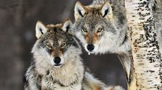 Wolves Full HD Wallpaper http://wallpapers-and-backgrounds.net/wolves-full-hd-wallpaper
