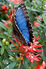 Costa Rican blue morpho - photo captured at March Morpho Mania