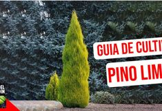 Cuidado del Pino Limón: Cómo cuidar el Pino limón en exterior e interior