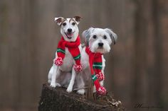 Jack Russell Terrier Isabella and Ricky by Heavenly Pet Photography #dogs #photography #jackrussell #Terrier #holidays #christmas