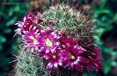 Mammillaria-sheldonii-Kirchheim-Mai-1971