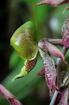 Catasetum maculatum | por Near but far...