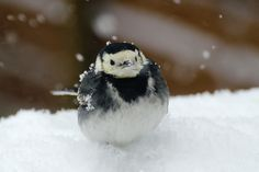 pied wagtail (photo by Nigel Cox)
