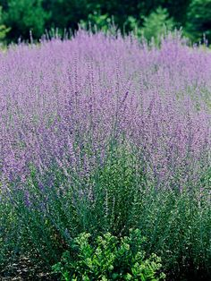 Fall color: Russian Sage: Blue flowers, silvery foliage, great scent! (Zones 5-9) Full sun, can grow to 5 feet.
