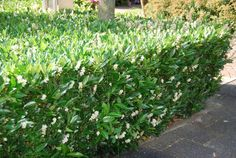 Prunus l. Garden Hedges, Privacy Landscaping, Buxus, Garden Deco, Thing 1, Plant Species, Farm Gardens, Green Garden, Gardens
