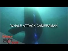 Southern Right Whale protects calf from Cameraman and attacks [Caught in the Act RAW]