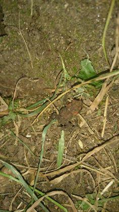 rana bermeja Rana temporaria
