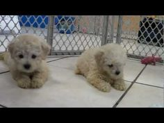 Toy Poodle Puppies Playing