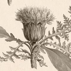 Thistle Vintage botanical wall art Thistle print Thistle | Etsy Vintage Botanical Prints, Botanical Wall Art, Botanical Drawings, Antique Prints, Floral Prints, Art Prints, Floral Illustrations, Garden Art, Decoration