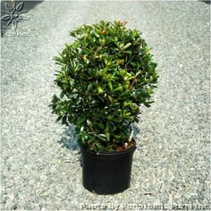 Japanese Ternstroemia is an upright, broadleafed, evergreen that makes an excellent screen or hedge. Foliage is extremely glossy, dark green in summer and develops a rich reddish bronze color in winter. Wholesale Nursery, Specimen Trees, Large Plants, Hedges, Evergreen, Japanese, Landscape, Happy, Outdoor
