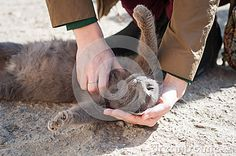 Photo about Gray cat caress on the street in a funny posture. Image of loving, furry, pets - 52738341 Grey Cats, Love Images, A Funny, Stock Photos, Gray, Pets, Street, Animals, Gray Cats