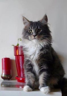 Devil's Shadow Insomnia  Maine Coon Kitten girl  Blue tabby with white