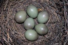 eggs of the european jay