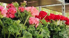 Floralies & Saveurs de nos Terroirs 2015 - La Bouverie - Roquebrune-sur-...