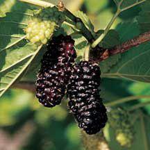 Illinois Everbearing Mulberry
