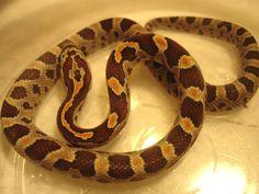 Baby Root Beer Corn Snake..