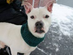 TO BE DESTROYED - 01/30/15 TO BE DESTROYED - 01/24/15 Manhattan Center -P My name is LUCKY. My Animal ID # is A1024771. I am a male white pit bull mix. The shelter thinks I am about 5 YEARS old. I came in the shelter as a OWNER SUR on 01/05/2015 from NY 10468, owner surrender reason stated was MOVE2NYCHA.  https://www.facebook.com/Urgentdeathrowdogs/photos/a.611290788883804.1073741851.152876678058553/939171399429073/?type=3&theater