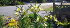 """These were creatively called """"White Lily"""" when I bought them several years ago."""