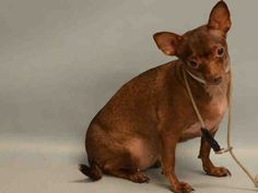 CORA - A1093559 - - Manhattan  Please Share:TO BE DESTROYED 10/18/16 **NEW HOPE RESCUE ONLY**Cora is a tiny brown Chi in need of a miracle tonight. She was surrendered by her former owner for attacking people and a cat. An attack Chi means a dog who was probably their baby when she was little than some turn of events rocked her world to bring out her insecurities. The ACC rated her New Hope Rescue only due to her snapping during the assessment. A death sentence for this lit
