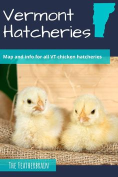 Find chicken hatcheries near you in the state of Vermont,  and learn which breeds they carry. Whether you want rare, friendly heritage breeds, the best egg layers, or beautiful giant breeds, you'll learn where to find them here. Types Of Chickens, Raising Chickens, Chicken Breeds, Backyard Chickens, Chicken Eggs, Vermont, Layers, Pictures, Beautiful