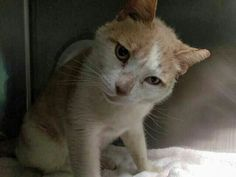 BUBBLE BOY -  A1113219 - - Brooklyn   ***TO BE DESTROYED 06/02/17 *** VET CARE ASAP!  Bubble Boy really is such a gentle, sweetheart of a kitty! He leaned in for head butts, cheek rubs, and seemed to really enjoy being petted and receiving attention (kneading paws don't lie!). This friendly cutie needs follow up medical care for his vestibular disease, ear mites, and ear infection. -  Click for info & Current Status: http://nyccats.urgentpodr.org/bubble-boy-a1113219/