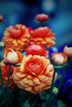 orange and blue ranunculas