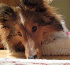 Shetland sheepdog :) the best dogs