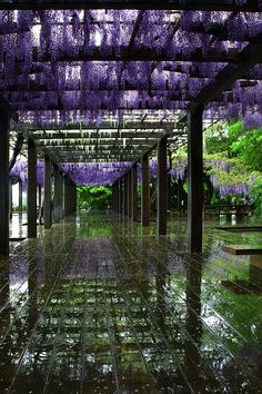 Wisteria trellis in rain, Toba water Environmental Protection Center, Kyoto, Japan