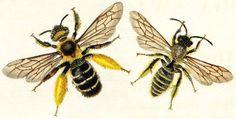 swammerdam bees