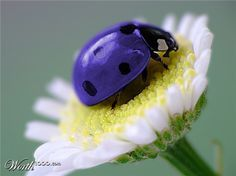 wow - I've never seen a purple ladybug!!    It's a  Worth1000 Photoshop.   However, there are blue Lady beetles. Steelblue Ladybird  Halmus chalybeus Boisduval