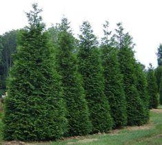 Green Giant Arborvitae ( Thuja plicata )
