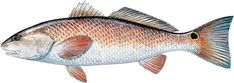 """Today we are sharing details on how to catch a #redfish also known as a #reddrum here @fishingtipsflorida   Florida Requires a Fishing License unless other wise stated You can get yours at #walmart or any other sporting goods / Bait shop in Florida. Florida Residents can get a free saltwater shoreline and structures license.   Current size restrictions in Florida are as follows: Not less than 18"""" no more than 27"""" total length.   Current bag limit varies depending on your location.  North…"""