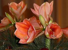 amarillisz ket viragzas kozt 03 Rose, Flowers, Plants, Gardening, Pink, Lawn And Garden, Plant, Roses, Royal Icing Flowers
