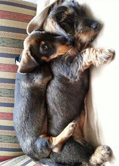 """Learn more relevant information on """"dachshund puppies"""". Visit our website. Dachshund Funny, Dachshund Breed, Long Haired Dachshund, Dachshund Love, Beagle, Corgi, Thelma Et Louise, Miniature Dachshunds, Most Popular Dog Breeds"""