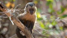A baby tufted capuchin monkey in Serra da Capivara National Park, Brazil