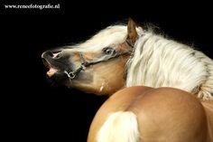Haflinger stallion 01 by lifaya